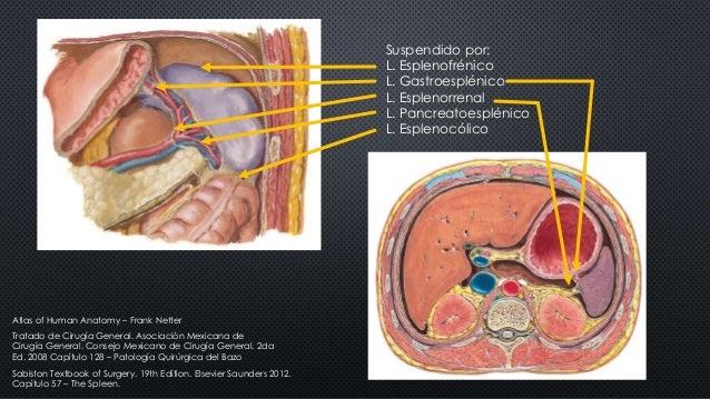 Suspendido por: L. Esplenofrénico L. Gastroesplénico L. Esplenorrenal L. Pancreatoesplénico L. Esplenocólico Tratado de Ci...