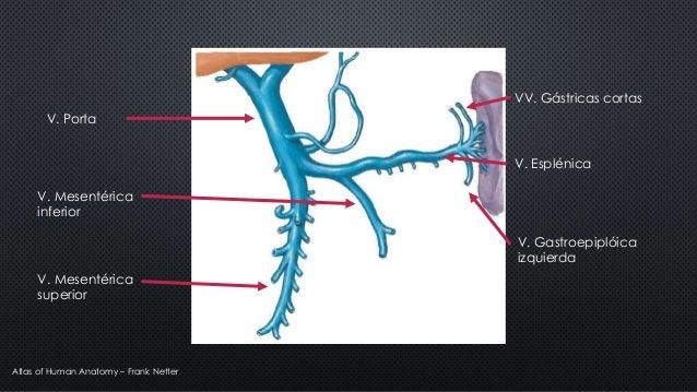 VV. Gástricas cortas V. Esplénica V. Gastroepiplóica izquierda V. Porta V. Mesentérica inferior V. Mesentérica superior At...