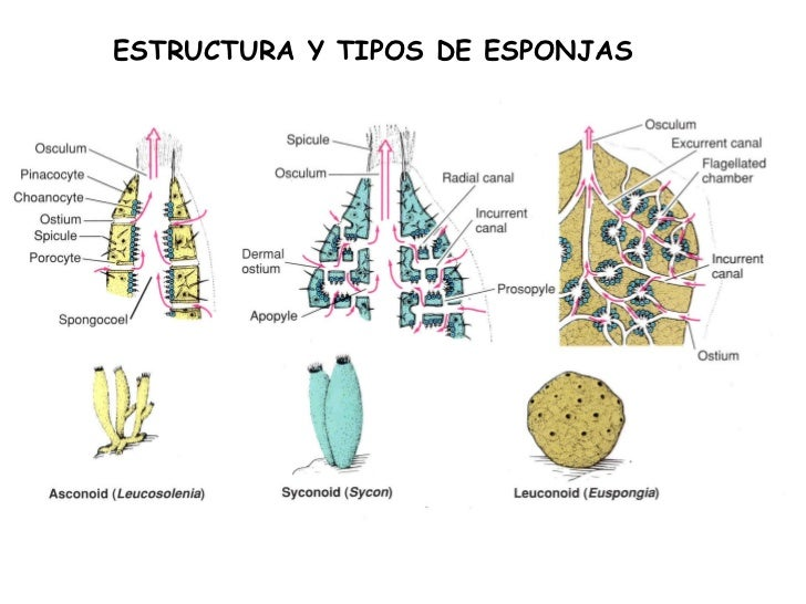 Esponjas de mar reproduccion asexual artificial