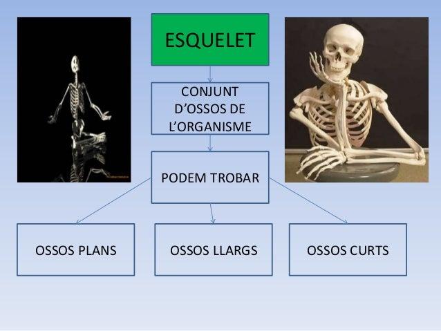 ESQUELET CONJUNT D'OSSOS DE L'ORGANISME PODEM TROBAR  OSSOS PLANS  OSSOS LLARGS  OSSOS CURTS