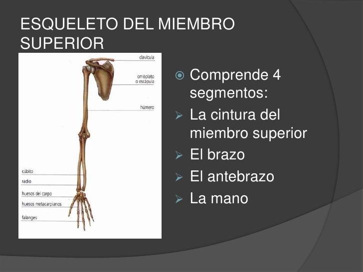 ESQUELETO DEL MIEMBROSUPERIOR                 Comprende 4                   segmentos:                  La cintura del ...