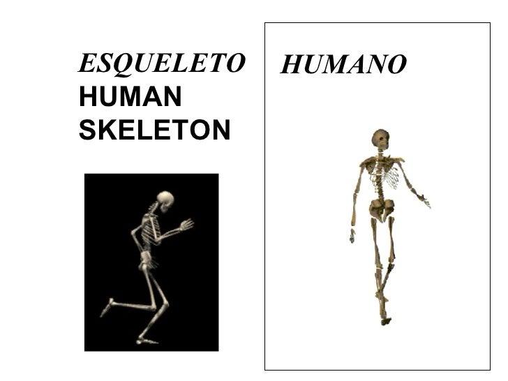 ESQUELETO   HUMAN SKELETON HUMANO