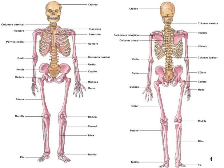 El esqueleto humano y las articulaciones - El cofre de Wilal