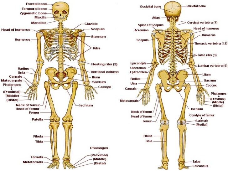 Esqueleto humano...