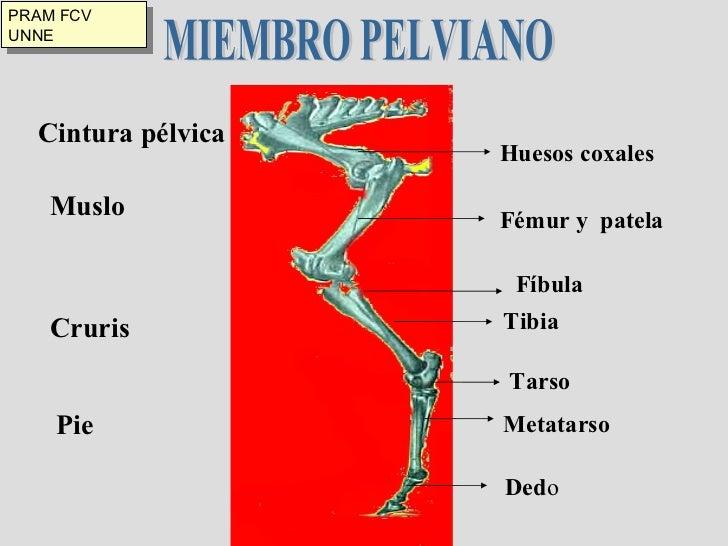Esqueleto, miembro pelviano