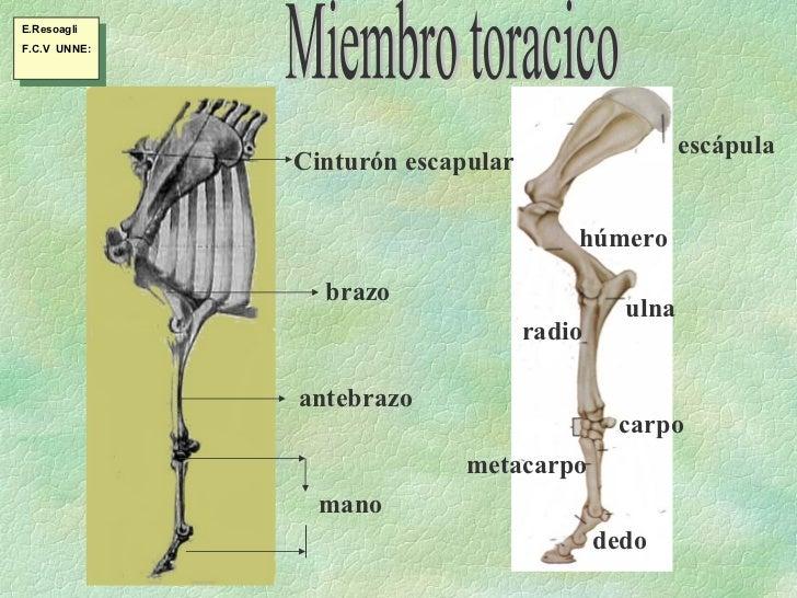 Esqueleto, miembro toráxico
