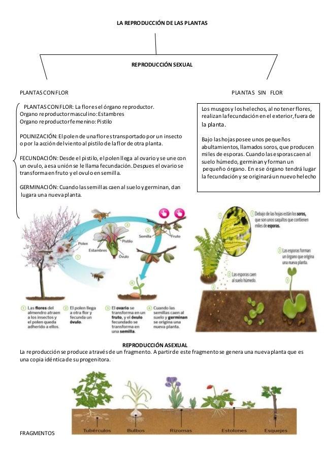 Reproduccion asexual en plantas esquema grafico