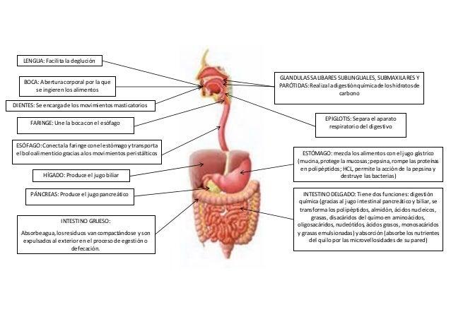 Esquema aparato digestivo (1)