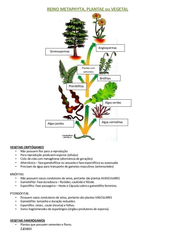 REINO METAPHYTA, PLANTAE ou VEGETAL                                                                   Angiospermas        ...