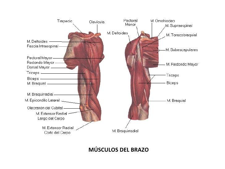 Perfecto Diagrama De Músculo De Hombro Embellecimiento - Anatomía de ...