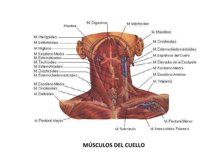 Asombroso Diagrama De Los Músculos En El Cuello Foto - Anatomía de ...