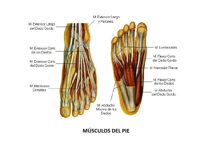 Contemporáneo Diagrama De Los Músculos Del Pie Viñeta - Anatomía de ...