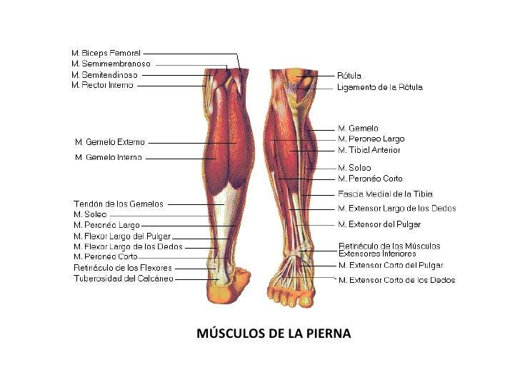 Lujo Músculo De La Pierna Diagrama Anatomía Adorno - Anatomía de Las ...