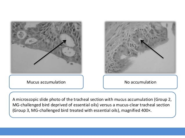 Mucus accumulation No accumulation A microscopic slide photo of the tracheal section with mucus accumulation (Group 2, MG-...