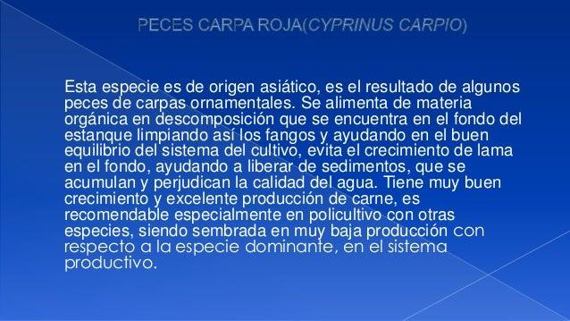 Establecimiento de un cultivo de peces carpa for Carpas ornamentales