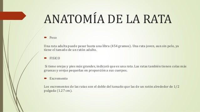 Plaga RATA Y RATON