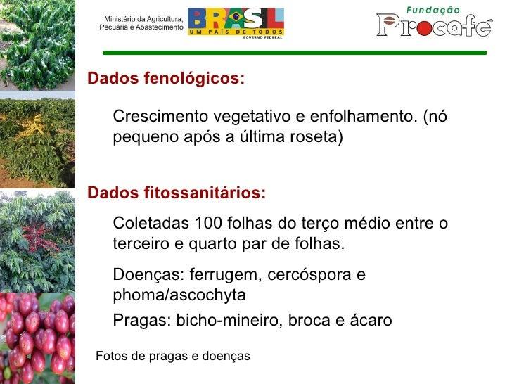 Dados fenológicos: Crescimento vegetativo e enfolhamento. (nó pequeno após a última roseta) Dados fitossanitários: Doenças...