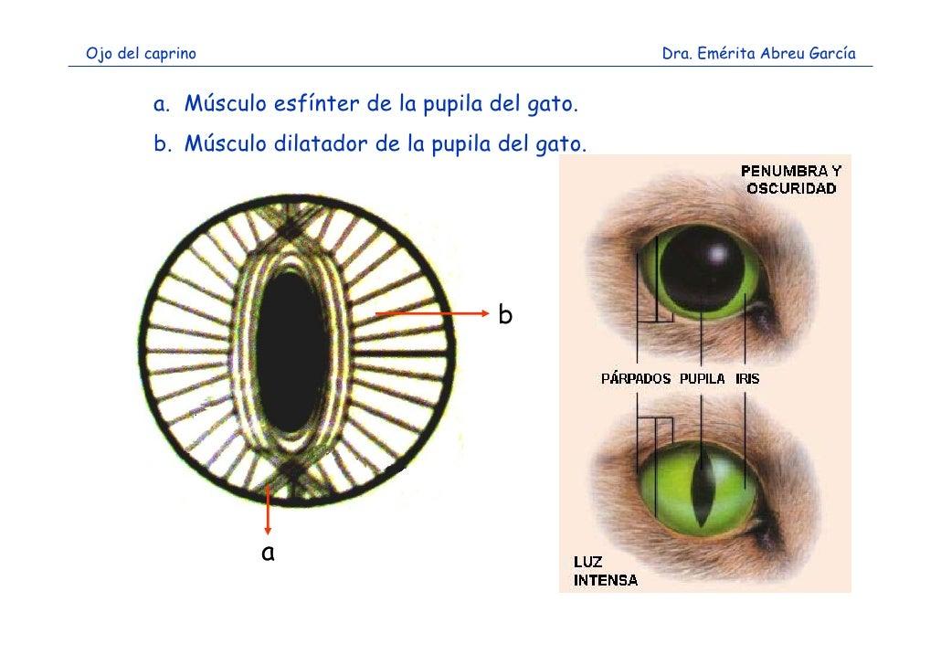 Magnífico Partes Del Globo Ocular Anatomía Ideas - Anatomía de Las ...