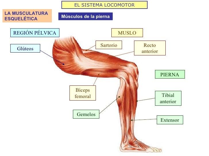 Famoso Diagrama De Músculo De La Pierna Cresta - Anatomía de Las ...