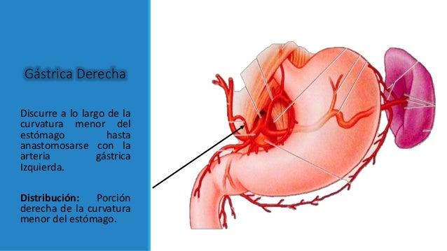 anatomia del Estomago
