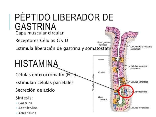 ESTOMAGO Y FISIOLOGÍA DE LAS GLANDULAS