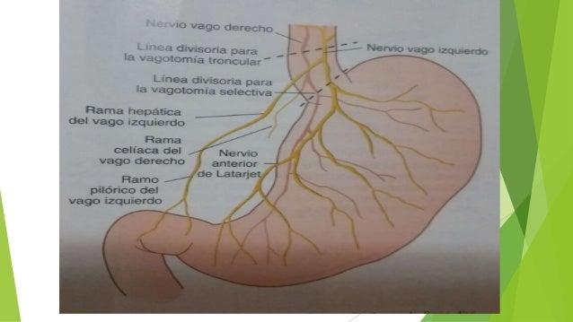anatomia de estoma cirugia de sabisnton 19 ed