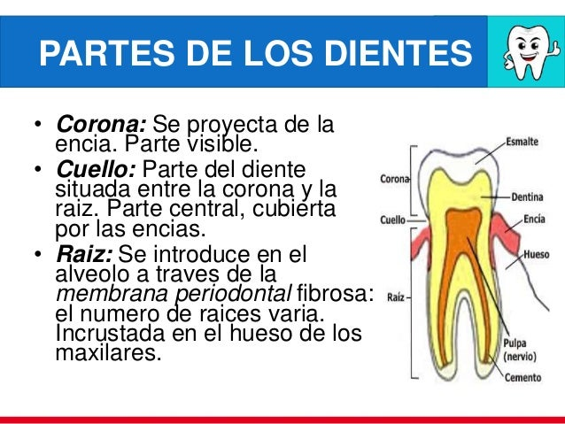 Anatom a embriolog a dientes caries dental saliva for Numero de dientes