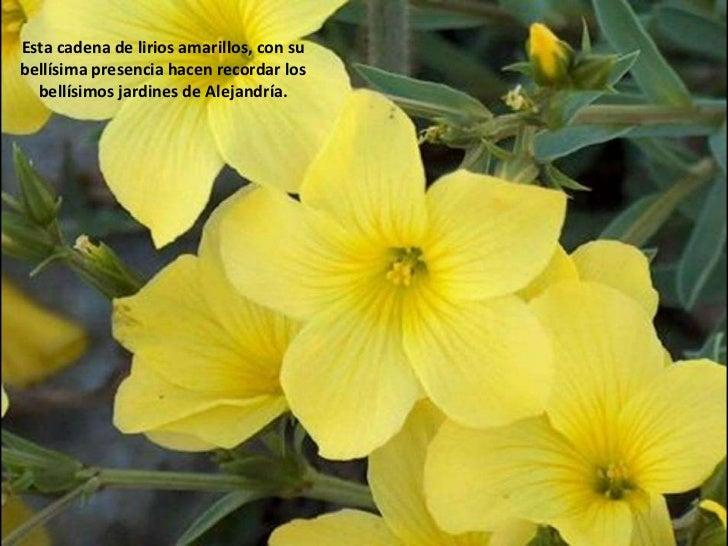 Esta cadena de lirios amarillos, con su  bellísima presencia hacen recordar los bellísimos jardines de Alejandría.<br />