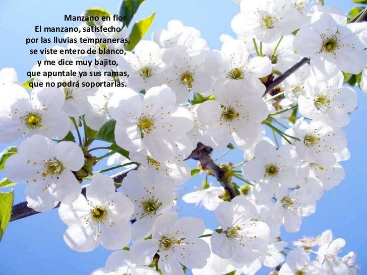 Manzano en flor<br />El manzano, satisfechopor las lluvias tempraneras,se viste entero de blan...