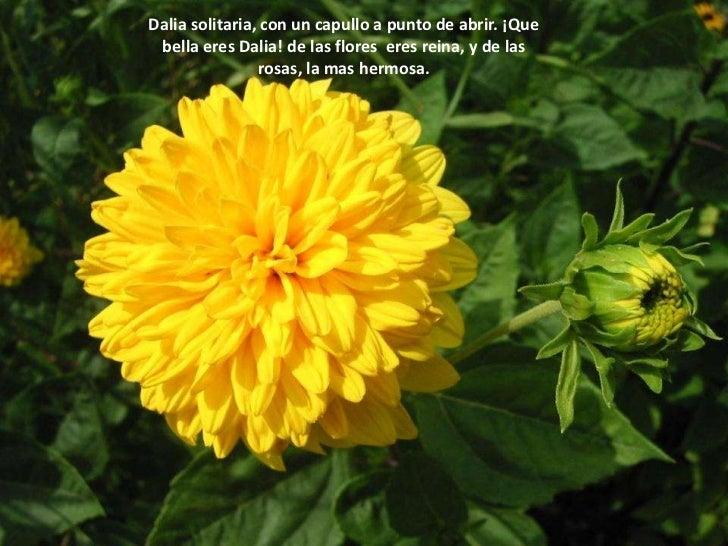Dalia solitaria, con un capullo a punto de abrir. ¡Que bella eres Dalia! de las flores  eres reina, y de las rosas, la mas...