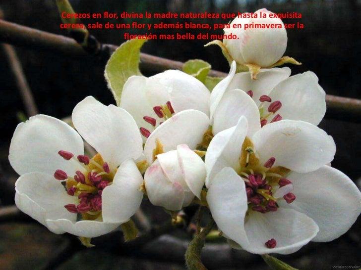 Cerezos en flor, divina la madre naturaleza que hasta la exquisita cereza, sale de una flor y además blanca, para en prima...