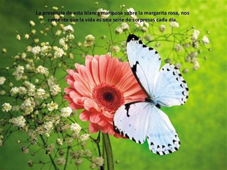 La presencia de esta blanca mariposa sobre la margarita rosa, nos comenta que la vida es una serie de sorpresas cada día.<...