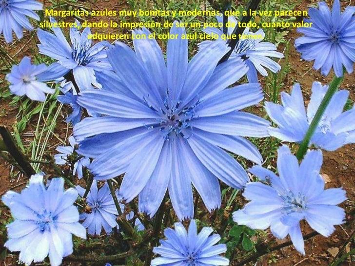 Margaritas azules muy bonitas y modernas, que a la vez parecen silvestres, dando la impresión de ser un poco de todo, cuan...