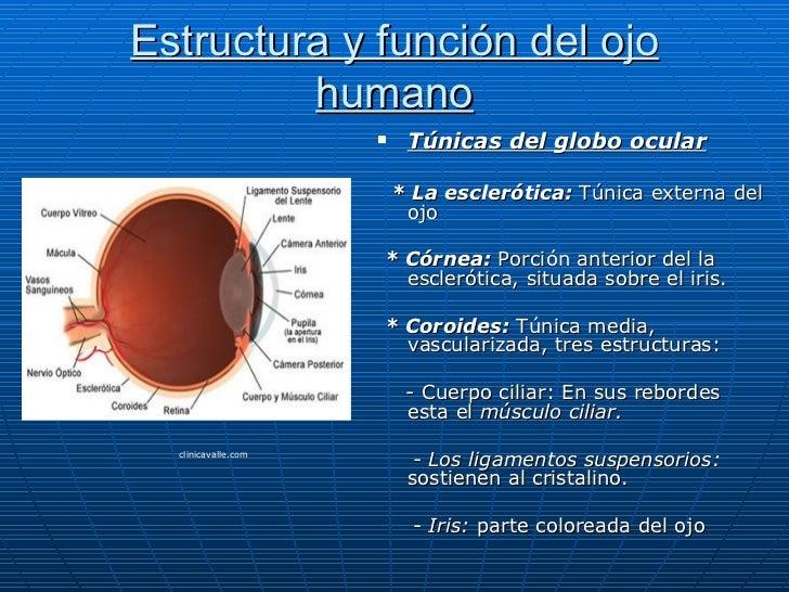 Estructura y función del ojo         humano                         Túnicas del globo ocular                         * La...