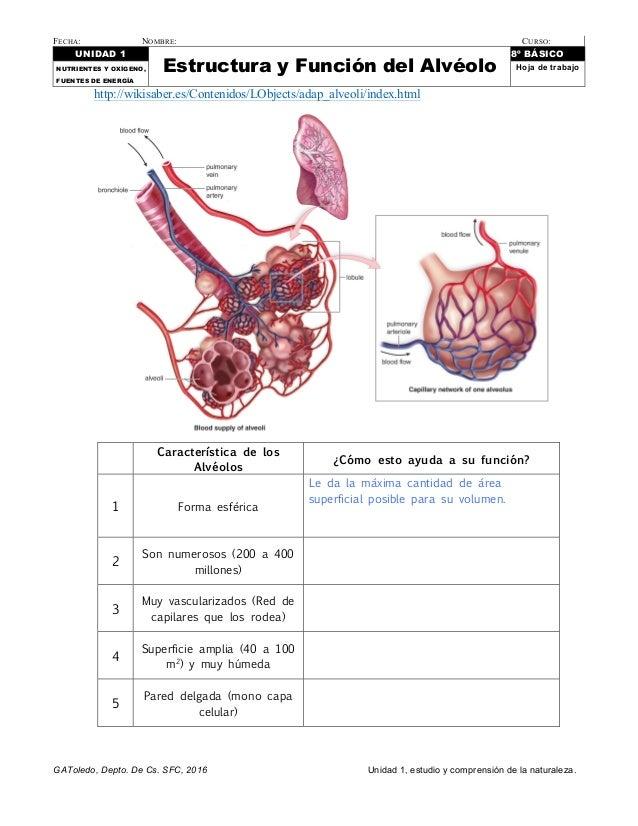 Estructura y función de los alvéolos. Hoja de trabajo para octavo Bás…