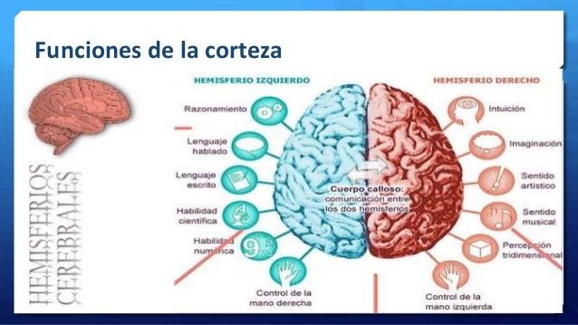 Estructura Basica Y Funcion Del Sistema Nervioso