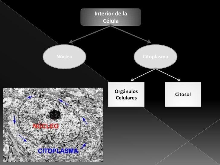 Estructura celular Slide 3