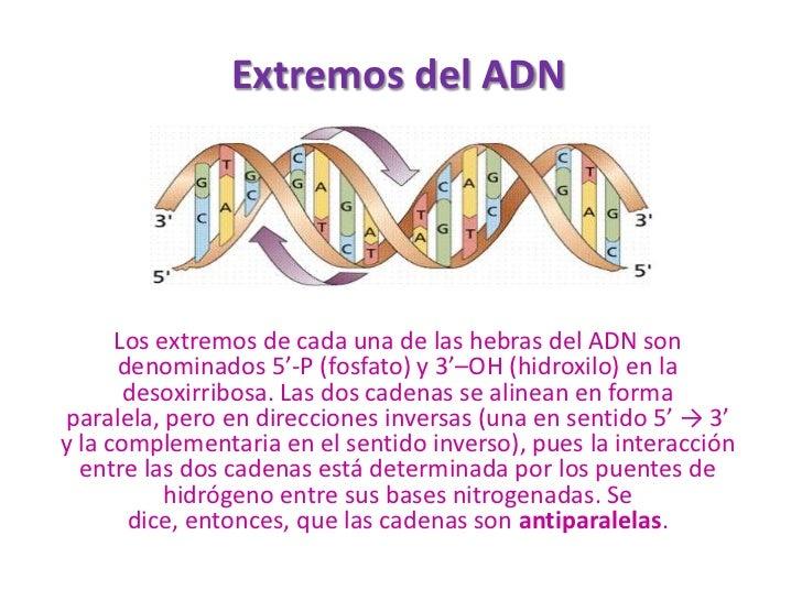 Extremos del ADN           Los extremos de cada una de las hebras del ADN son       denominados 5'-P (fosfato) y 3'–OH (hi...