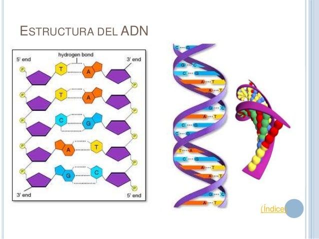 Evolución De La Estructura Del Adn
