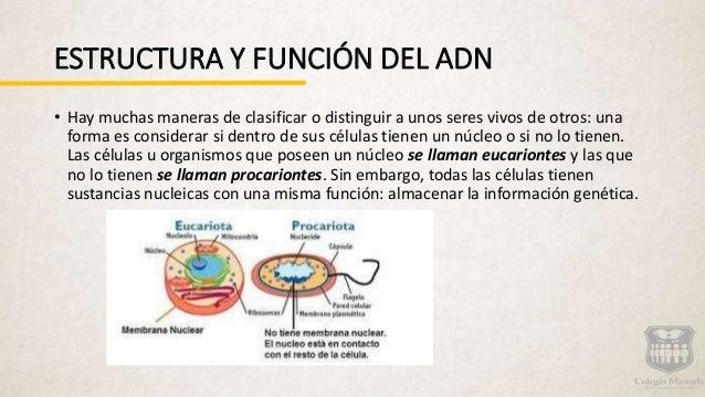 Estructura Del Adn Y Funcion