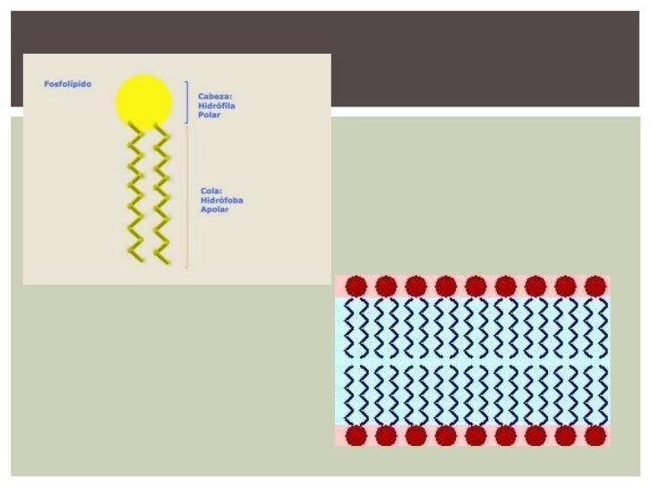 Estructura De La Membrana Celular Modelo Del Mosaico Fluido