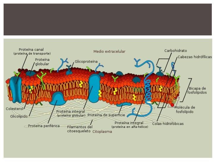 FUNCIONES DE LA MEMBRANARegularización del paso de sustanciasdebido a su semipermeabilidad.Participa en el movimiento celu...