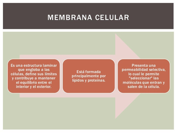 Estructura de la membrana celular modelo del mosaico fluido for Pared y membrana celular