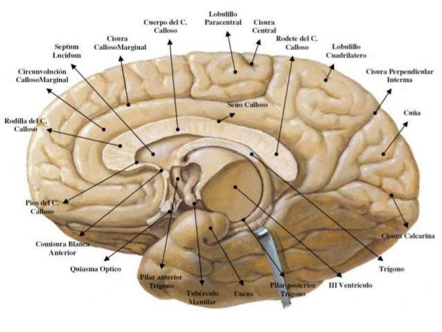 Cerebro Estructuras Y Funciones