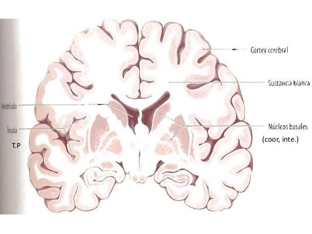 Estructura Interna Del Cerebro
