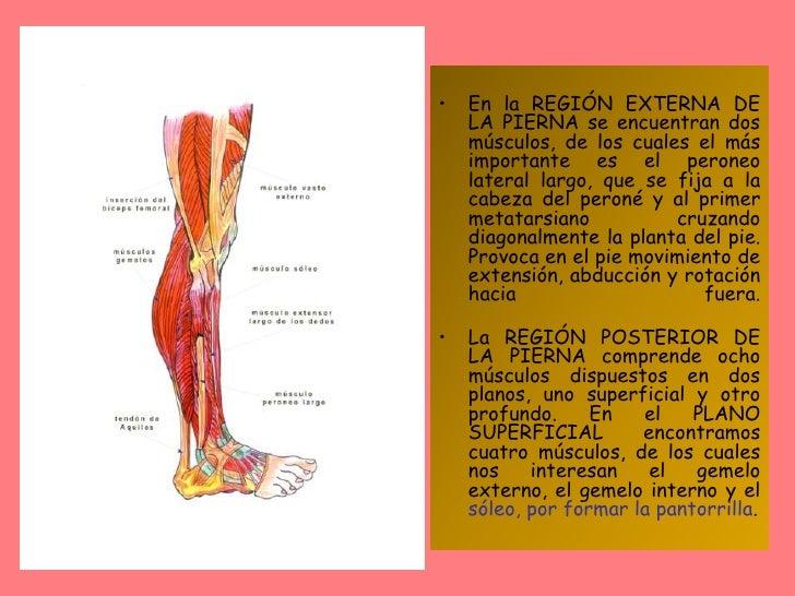Estructura Muscular De Miembros Inferiores