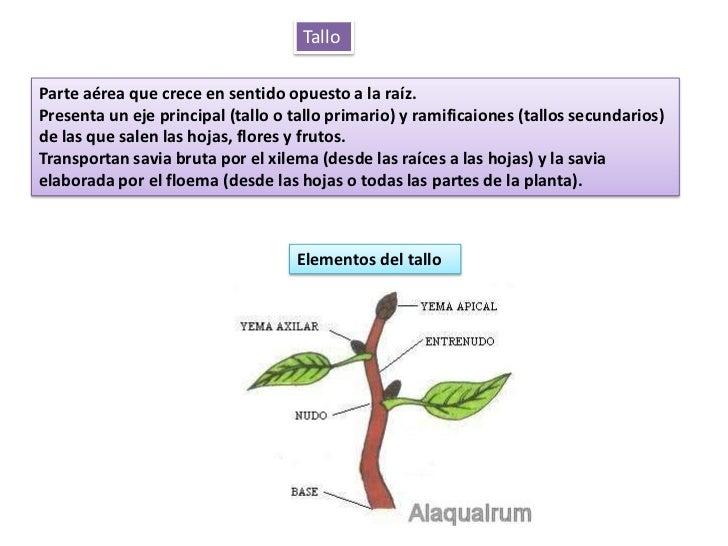 Estructuras vegetativasplantasconflor