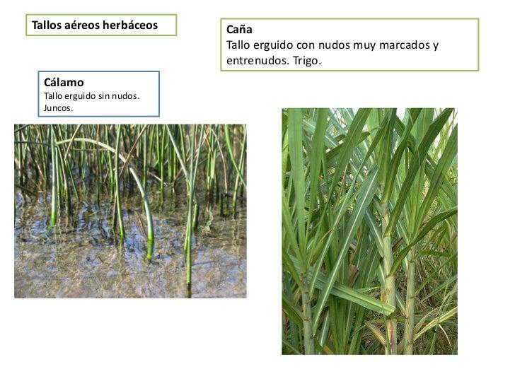 Tipos de plantas juncos v rias id ias de for Estructuras para viveros plantas