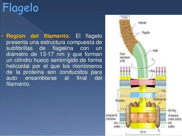 Estructuras bacterianas flagelo pili y fimbrias for Cual es el compuesto principal del marmol