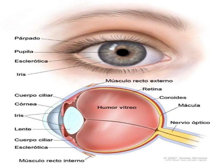 Estructura y función del ojo humano
